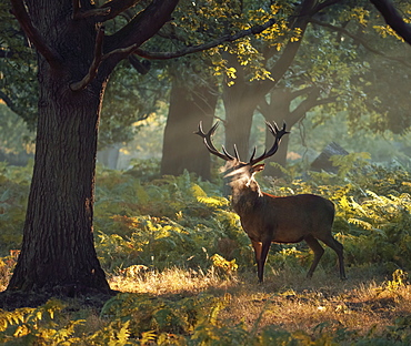 A large red deer stag (Cervus elaphus) stands his ground in a misty Richmond Park one autumn morning, Richmond, Greater London, England, United Kingdom, Europe