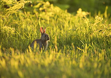 A European rabbit (Oryctolagus cuniculus) comes out of his burrow at sunset in Richmond Park, Richmond, Greater London, England, United Kingdom, Europe