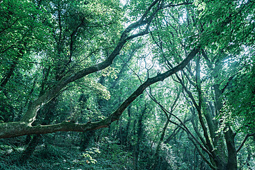 Green woodland canopy with tree branches in Babbacombe, Devon, England, United Kingdom, Europe