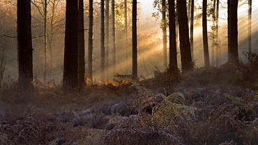 Forest morning light, trees and fern with ice foreground with light beams streaming through trees, Sherwood Forest, Nottinghamshire, England, United Kingdom, Europe - 1328-10