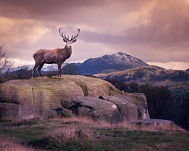 Red deer stands on a lone rock in the Lake District, Cumbria, England, United Kingdom, Europe
