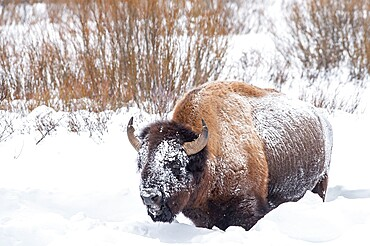 Snow covered bison, Bison Bison, Yellowstone National Park, Wyoming, United States