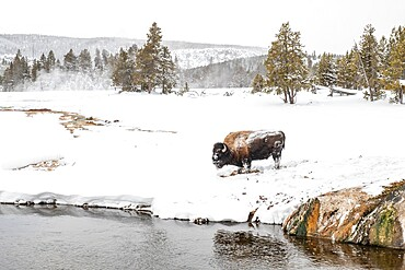 Snow covered bison, Bison Bison, on the river bank, Yellowstone National Park, Wyoming, United States