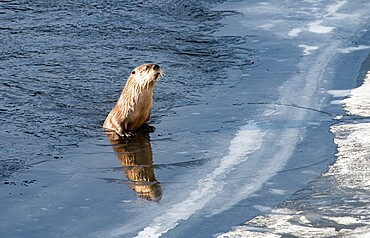 River otter, Lontra canadensis, peering over ice, with reflection, Yellowstone National Park, Wyoming, United States