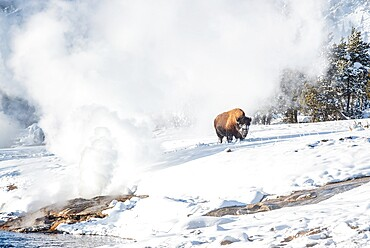Bison (Bison bison) in snow with geyser, Yellowstone National Park, UNESCO World Heritage Site, Wyoming, United States of America, North America