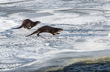 Two river otters, Lontra canadensis, running on snow and ice, Yellowstone National Park, Wyoming, United States