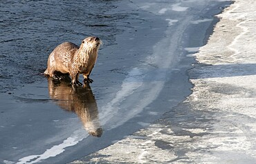 River otter, Lontra canadensis, standing on ice, with reflection, Yellowstone National Park, Wyoming, United States