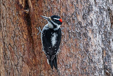 Hairy woodpecker, Leuconotopicus villosus, perched on tree trunk, Yellowstone National Park, Wyoming, United States