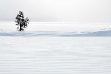 Lone tree in snow dune, Yellowstone National Park, Wyoming, United States