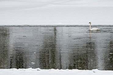 Trumpeter swan in river, Yellowstone National Park, Wyoming, United States
