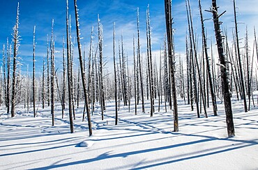Trees and shadows in the snow, Yellowstone National Park, Wyoming, United States