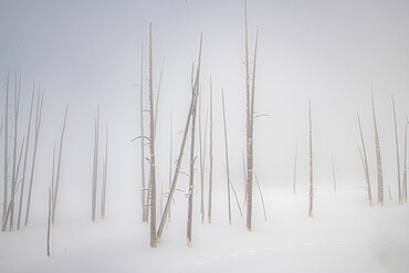 Snowscape trees in the fog, Yellowstone National Park, Wyoming, United States