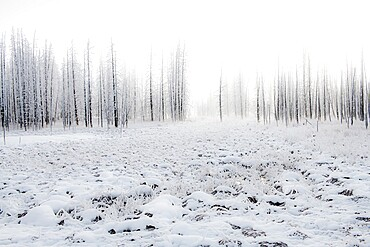 Snowscape with trees in the fog, Yellowstone National Park, Wyoming, United States