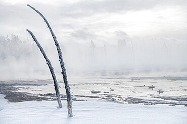 Dead trees in a snowscape with fog, Yellowstone National Park, Wyoming, United States
