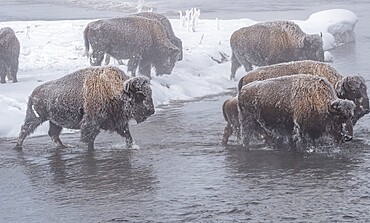 Frozen bison crossing a stream, Yellowstone National Park, Wyoming, United States