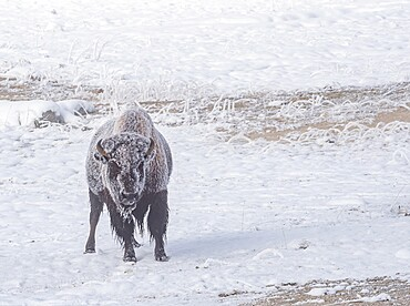 Frozen bison, Bison Bison, in snowy field, Yellowstone National Park, Wyoming, United States