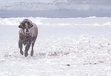 Frozen bison, Bison Bison, running across snow, Yellowstone National Park, Wyoming, United States