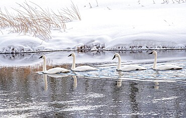 Four trumpeter swans, Cygnus buccinator, on the river with reflection, Yellowstone National Park, Wyoming, United States