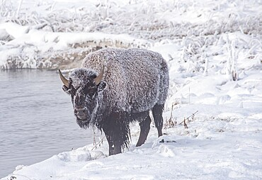 Frozen bison, Bison Bison, on a river bank, Yellowstone National Park, Wyoming, United States