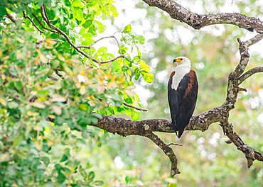African fish eagle, Haliaeetus vocifer, framed by branches, South Luangwa National Park, Zambia