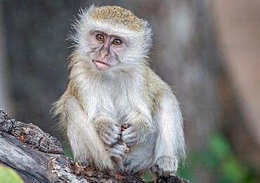 Portrait of young vervet monkey (Chlorocebus pygerythrus), on a branch, South Luangwa National Park, Zambia, Africa