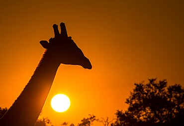 Silhouette of giraffe (Giraffa), with setting sun, South Luangwa National Park, Zambia, Africa