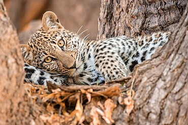 Young leopard resting in a tree, South Luangwa National Park, Zambia