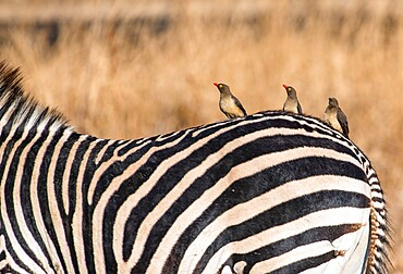 Oxpeckers, Buphagus, on a zebra, Equus quagga, South Luangwa National Park, Zambia