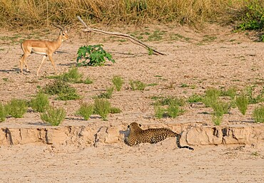 Leopard, Panthera pardus, stalking impala, Aepyceros melampus, from a creek bed, South Luangwa National Park, Zambia