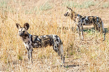 African wild dogs (Lycaon pictus), in the brush, South Luangwa National Park, Zambia, Africa