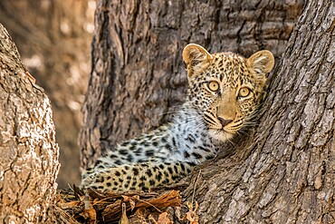 Young leopard, Panthera pardus, peering out from a tree, South Luangwa National Park, Zambia