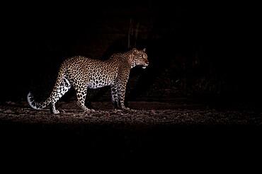 Leopard at night (Panthera pardus), South Luangwa National Park, Zambia, Africa