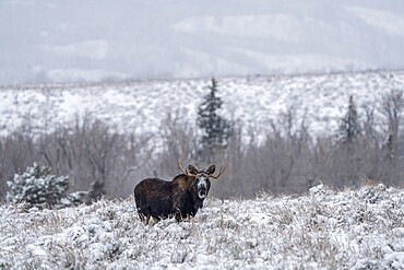 Bull moose, Alces alces, in snow staring back, Grand Teton National Park, Wyoming, United States