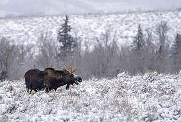 Bull moose, Alces alces, in the snow with open mouth, Grand Teton National Park, Wyoming, United States
