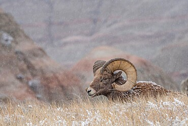 Bighorn sheep (Ovis canadensis) resting in the snow, Badlands National Park, South Dakota, United States of America, North America