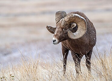 Bighorn sheep (Ovis canadensis) close up, Badlands National Park, South Dakota, United States of America, North America