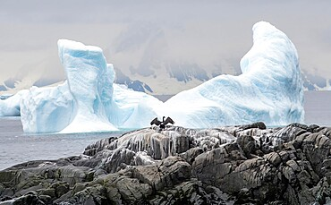 Antarctic shag spreading wings with wing-shaped iceberg Antarctica, Polar Regions