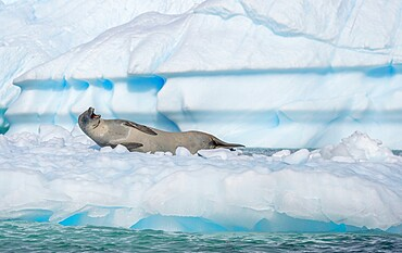 Crabeater seal with open mouth on ice floe, Antarctica, Polar Regions