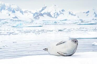 Crabeater seal on ice floe, Antarctica, Polar Regions