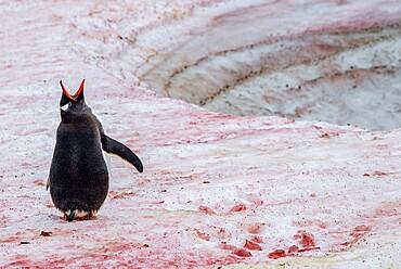 Gentoo penguin (Pygoscelis papua) vocalizing on snow with red algae, Antarctica, Polar Regions