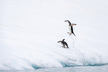 Chinstrap penuin jumping out of water Antarctica, Polar Regions