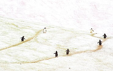 Gentoo penguins marching on trails through the ice Antarctica, Polar Regions