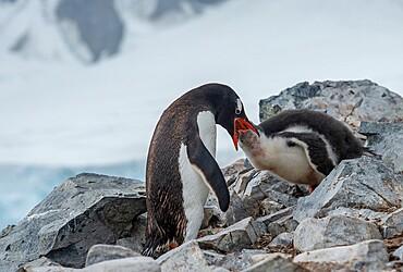 Gentoo pengiun feeding chick, Antarctica, Polar Regions