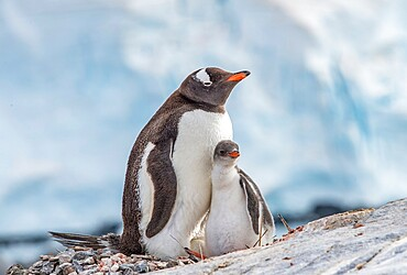 Gentoo penguin with chick and egg Antarctica, Polar Regions