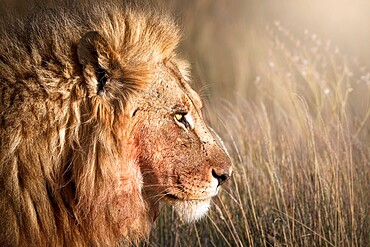 Head shot of a male lion (Panthera leo), Namibia, Africa