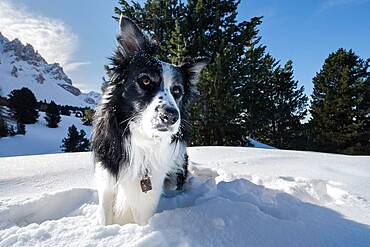 Border collie playing in the snow, Trentino-Alto Adige, Italy, Europe