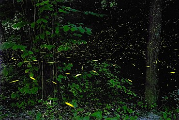 Fireflies in the woods, Emilia Romagna, Italy, Europe