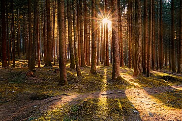 Larch wood and sun star between tree trunks, Trentino-Alto Adige, Italy, Europe