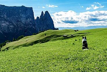 Border collie dog admiring the panorama on Alpe di Siusi, Dolomites, Trentino-Alto Adige, Italy, Europe