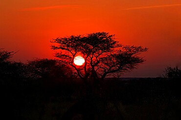 Sunrise sun framed by a tree silhouette, Namibia, Africa